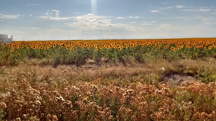 Image of sunflower field in bennett